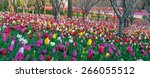colorful tulips  tulips in... | Shutterstock . vector #266055512