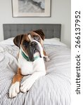 fawn colored pure breed boxer...   Shutterstock . vector #266137952