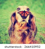 Stock photo  a cute dachshund at a local public park with a butterfly on his or her nose toned with a retro 266410952