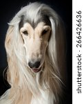 Small photo of outstanding afghan hound portrait