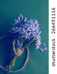 Small photo of Blue Scilla (Squill) flowers, close up