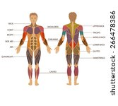vector muscular human body ... | Shutterstock .eps vector #266478386