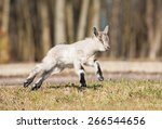 Young Goatling Running Outdoors