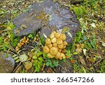 Shaggycap Mushrooms  Pholiota...