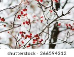 Clusters Of Red Rowan Berry...