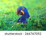 Hyacinth Macaw Close Up