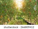 Tomato On Trees