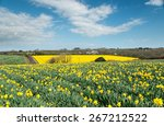 Fields Of Spring Daffodils...