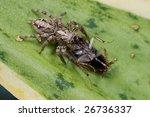 macro shot of a jumping spider... | Shutterstock . vector #26736337
