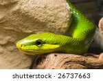 Постер, плакат: young Red Tailed Racer