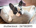 Stock photo adorable french bulldog on the lair 267382895