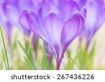Purple Crocuses In Spring ...