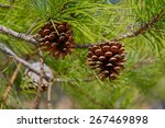 Pitch Pine Trees With Fresh...
