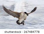 Canada Goose Lands On Frozen...