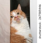 Stock photo thick red and white cat hiding behind old curtains 267585446
