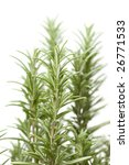 fresh rosemary | Shutterstock . vector #26771533