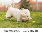 Coton De Tulear Dog Playing In...