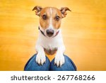 jack russell dog ready for a... | Shutterstock . vector #267768266