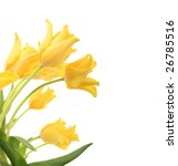 Bright Yellow Tulips Isolated...