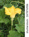 Butternut Squash Plant With...