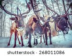 Three Reindeer