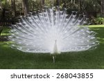 White Peacock With Tail Spread.