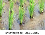 Rice growth - close up - stock photo
