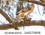 A Cooper's Hawk Feeding On A...