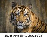 Portrait Of Asian Tiger.