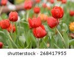 tulips flower beautiful in... | Shutterstock . vector #268417955