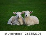 View Of Two Spring Lambs In A...