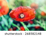 red poppy close up | Shutterstock . vector #268582148
