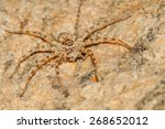 Scary desert spider with...