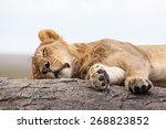Lioness Sleeping On The Rock ...