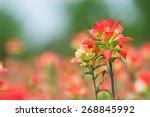 Indian Paintbrush Wildflowers...