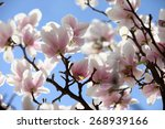 blossoming of magnolia flowers... | Shutterstock . vector #268939166
