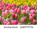 Small photo of Tulip. Beautiful bouquet of tulips. colorful tulips. tulips in spring,colourful tulip