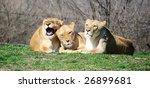 Three Female Lions Laying...