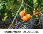 tomatoes in different colors...