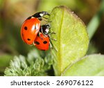 Ladybird Insects Pair Mating ...