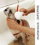 dog getting bath - stock photo