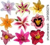 Set Of Isolated  Lilies Flower...