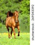 golden red horse runs trot in... | Shutterstock . vector #269343392
