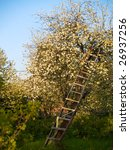 Apple Tree In Spring With...