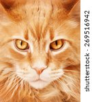 Maine Coon Cat Close Up Portrait