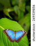 Tropical Blue Butterfly With...