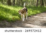 Stock photo beagle running smile in the grass 269572412