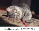 Stock photo gray striped cat playing with red thread 269825225
