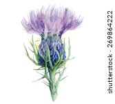 Milk Thistle  Flower Watercolo...