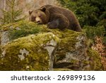 A Brown Bear In The Forest. Bi...